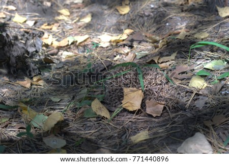 Hedgehog in the deciduous forest #771440896