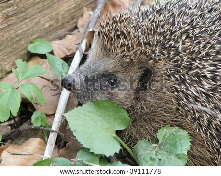 hedgehog in the plant litter