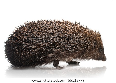 hedgehog isolated on white