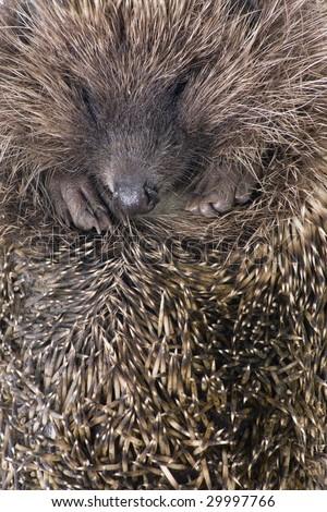 hedgehog male adult close up - stock photo