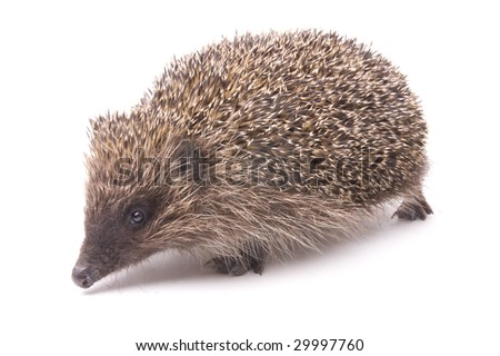hedgehog male adult isolated on white - stock photo