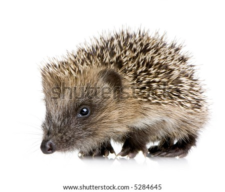 hedgehog (1 months) in front of a white background