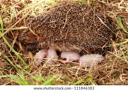 hedgehog mother with family (newborns)