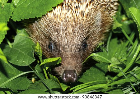 hedgehog muzzle against a background of green foliage. Macro