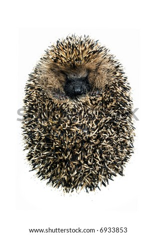 hedgehog  of a white background