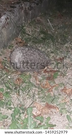 Hedgehog on a grass. Hedgehog in the garden. Animals around the house. Small animal. Scared animal. Wild animal.  #1459252979