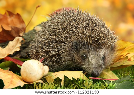 Hedgehog on autumn leaves in forest