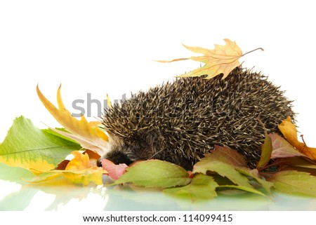 Hedgehog on autumn leaves, isolated on white