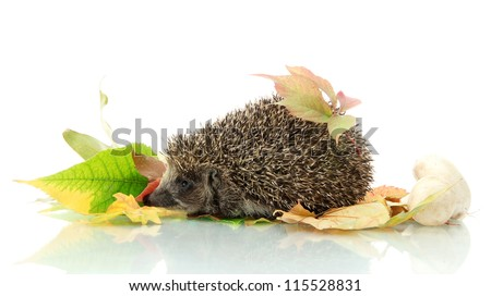Hedgehog on autumn leaves, isolated on white