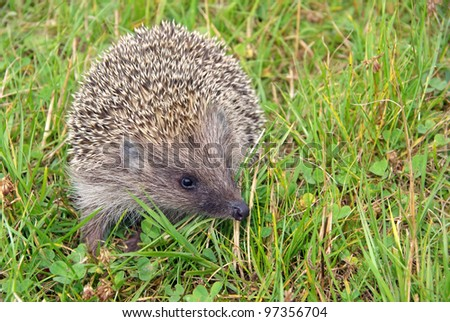 Hedgehog on the green grass - stock photo