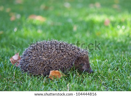 hedgehog on the green grass in the autumn