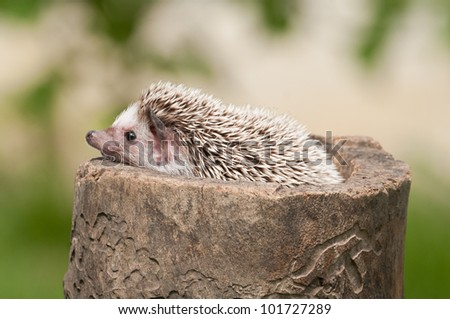 Hedgehog on the stump