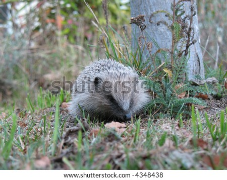 Hedgehog rustling about in the grass