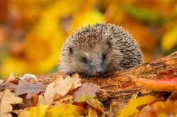 Hedgehog (Scientific name: Erinaceus Europaeus). Wild, native, European hedgehog in Autumn foraging on a fallen log with colourful orange and yellow leaves.  Horizontal.  Space for copy.