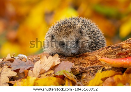 Hedgehog (Scientific name: Erinaceus Europaeus). Wild, native, European hedgehog in Autumn foraging on a fallen log with colourful orange and yellow leaves.  Horizontal.  Space for copy. Stockfoto ©