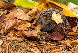 Hedgehog (Scientific name: Erinaceus europaeus) Wild, Native European Hedgehog in Autumn or Fall,  with golden leaves and single leaf on right side of the head. Horizontal. Space for copy.