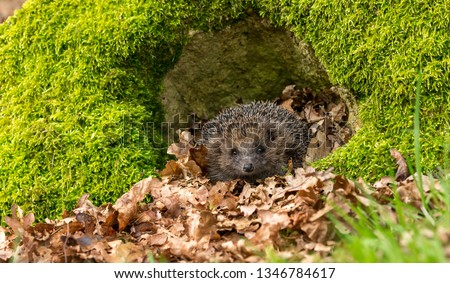 Hedgehog (Scientific name: Erinaceus Europaeus). Wild, native, European hedgehog in natural woodland habitat with green moss and blurred background. Horizontal. #1346784617