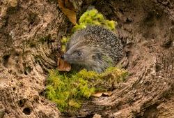 Hedgehog (Scientific name: Erinaceus Europaeus) Wild, native, European hedgehog inside a fallen tree stump, emerging from hibernation in Spring time.  Close up.  Horizontal.  Space for copy.