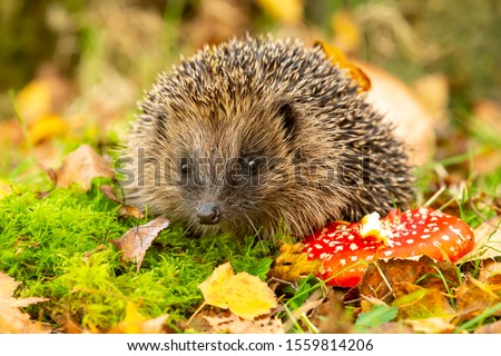 Hedgehog, (Scientific name: Erinaceus Europaeus) wild, native, European hedgehog with red Fly Agaric toadstool, and green moss.  Facing forward.  Autumn or fall. Close up. Horizontal.  Space for copy.