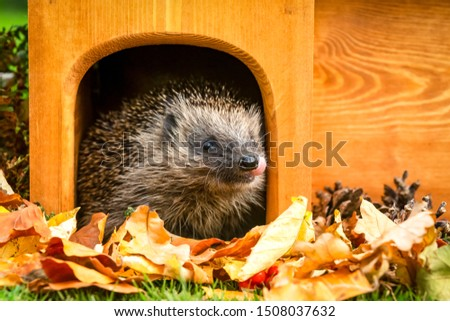 Hedgehog (Scientific name: Erinaceus europaeus) with his tongue out. Native, wild European hedgehog in Autumn with golden leaves leaving a hedgehog house. Facing right. Close up.Horizontal. Copy space