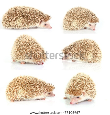 hedgehog series on white