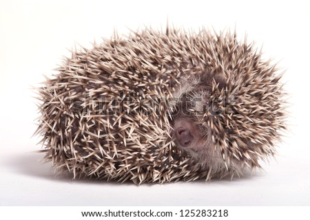 Hedgehog sleeping isolate on white background