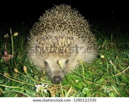 Hedgehog Snout Picture