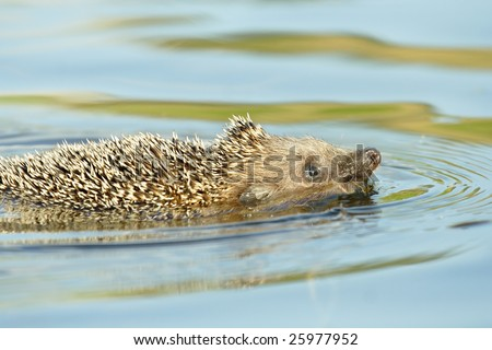 Hedgehog swimming over the river