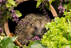 Hedgehog, wild, native European Hedgehog (Erinaceus europaeus) in colourful herb garden, sat inside a clay drainage pipe covered in wild thyme and herbs.  Facing forward. Space for copy.  Horizontal.