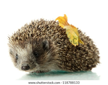 Hedgehog with autumn leaf, isolated on white