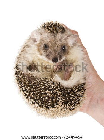 Hedgehog with large ears  in his hand.