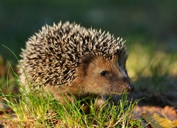Hedgehogs (Erinaceidae) are a family of mammals. The most famous representatives of families living in Europe are dark-breasted (Erinaceus europaeus) and white-breasted hedgehogs (Erinaceus concolor🦔
