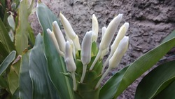 Hedychium coronarium. Amber cane plant. Closed buds of white and perfumed flower. National flower of Cuba.