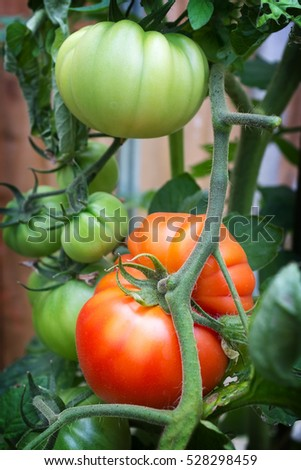 Heirloom beefsteak tomatoes, growing in a greenhouse, with both ripe and unripe fruits on the vine.