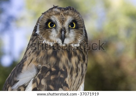 Held in captivity, this short eared owl show its natural beauty.