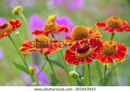 Helenium flower in summer garden