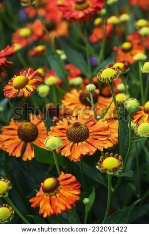 Helenium hybridum flowers in the garden.
