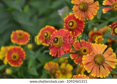 Helenium Konigstiger. Helenium. Helenium autumnale. Bush Helenium. Green leaves. Beautiful bright flowers. Perennials. Long-flowering plant. Summer days. Horizontal photo