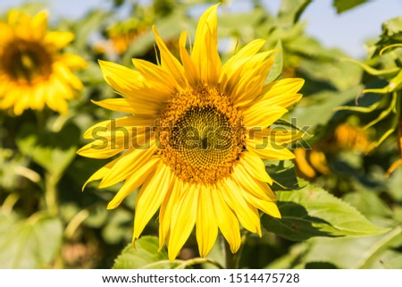 Helianthus annuus, the common sunflower (a large annual forb of the genus Helianthus grown as a crop for its edible oil and edible fruits) during a windy day