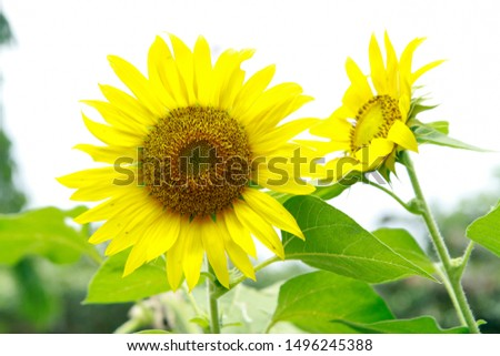 Helianthus annuus, the common sunflower, is a large annual forb of the genus Helianthus grown as a crop for its edible oil and edible fruits
