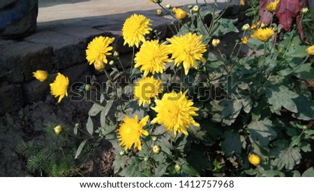 Helianthus annuus the common sunflower, is a large annual forb of the genus Helianthus grown as a crop for its edible oil and edible fruits.
