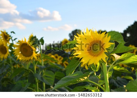 Helianthus annuus, the common sunflower, is a large annual forb of the genus Helianthus grown as a crop for its edible oil and edible fruits.