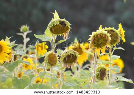 Helianthus annuus, the common sunflower, is a large annual forb of the genus Helianthus grown as a crop for its edible oil and edible fruits. This sunflower species is also used as wild bird food