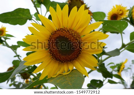 Helianthus annuus, the common sunflower, is a large annual forb of the genus Helianthus grown as a crop for its edible oil and edible fruits. This sunflower species is also used as wild bird food.