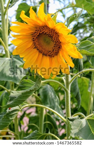 Helianthus annuus, the common sunflower - large annual forb of the genus Helianthus grown as a crop for its edible oil and edible fruits. Beautiful yellow sunflower flower. Closeup