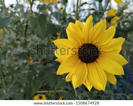 Helianthus annuus with green nature in background, the common sunflower. Helianthus grown as a crop for its edible oil and edible fruits. Sunflowers symbolize adoration, loyalty and longevity.