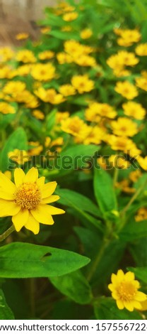 Helianthus is a genus that contains annuals and annual plants native to North America, Central America and South America #1575567226