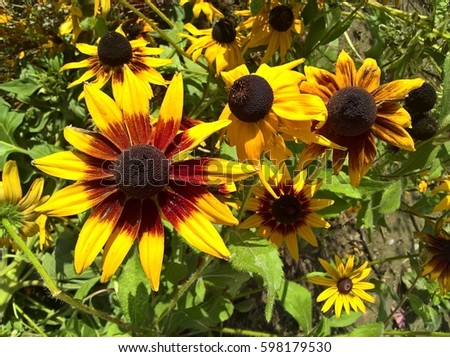 Helianthus Ornamental Garden. Brown Orange Yellow flowers in shine of the sun. Garden in the background. #598179530