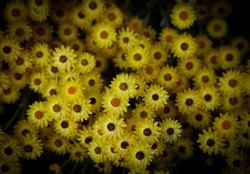 Helichrysum argyrophyllum, Golden Guinea Everlasting, South Africa, Eastern Cape Province. Small yellow flowers on dark background.