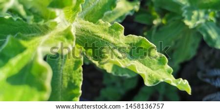 Helichrysum aureonitens hairy leaves glisten in the sunlight.